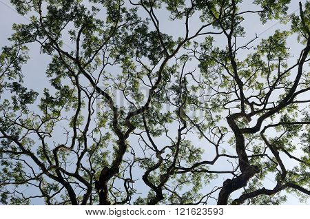 Branches from lower angle of a big old tree