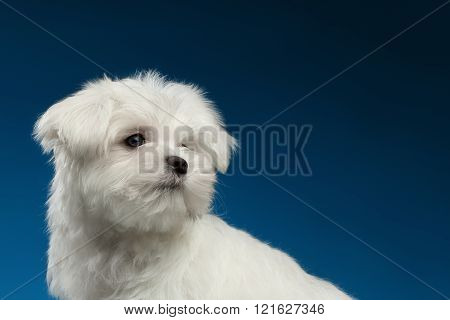 Closeup Cute White Maltese Puppy With Pity Face Looking Back