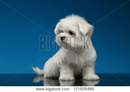 Cute White Maltese Puppy Sits And Looking Left Isolated,blue