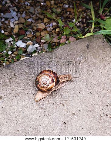 Big Snail Crawling On A Stony Surface