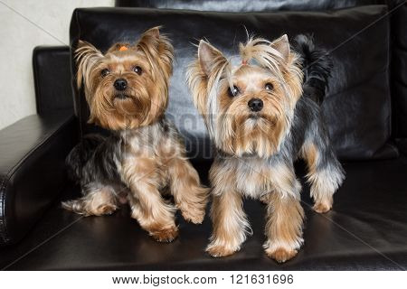 Yorkshire Terriers Are Sitting On The Black Sofa