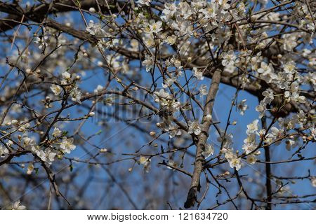White Spring Cherry Flowers