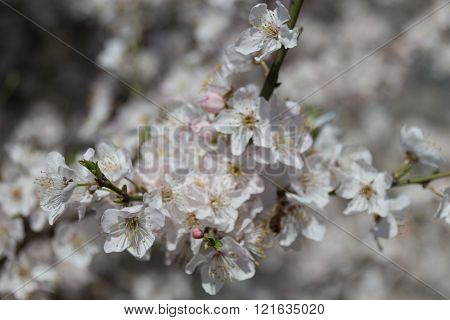 Bee In The White Cherry Flowers