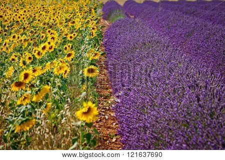 Sunflowers and lavender, Provence, France