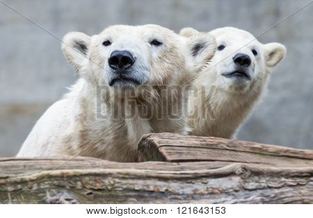 Young Polar Bear With Mother