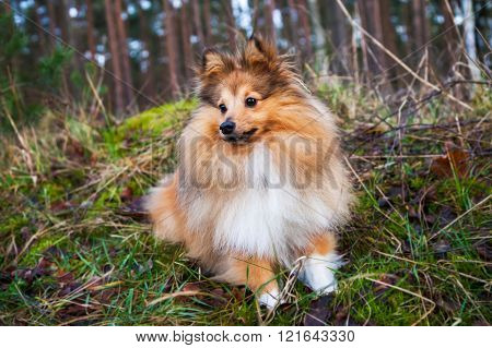 Shetland Sheepdog Lies On Grass In A Forest