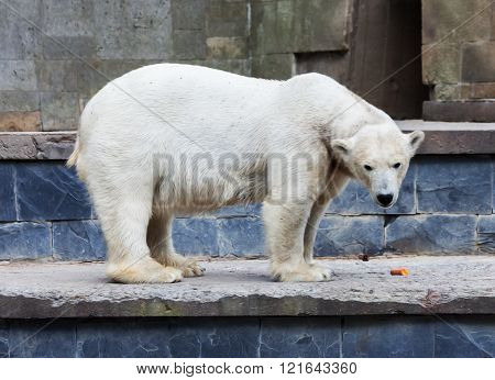 polar bear stands on a wall in animal park