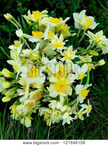 Bunch Of Spring Daffodils