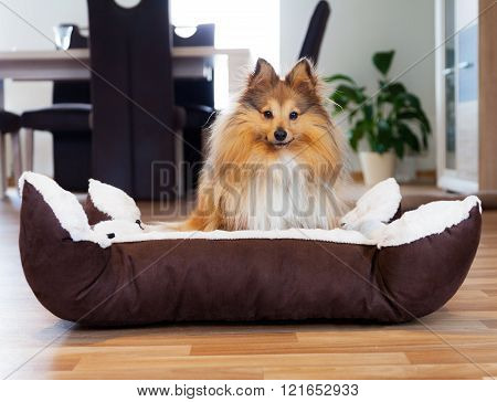 Young Shetland Sheepdog Sits In Basket And Looks To The Camera