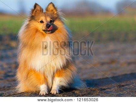 Young Sheltie Dog Sits On Country Path