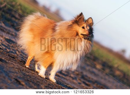 Young Sheltie Dog Stands On Country Lane
