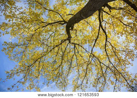 Poplar Tree In Sunlight With Yellow Leafs Against Blue Skyn In Autumn In The Netherlands