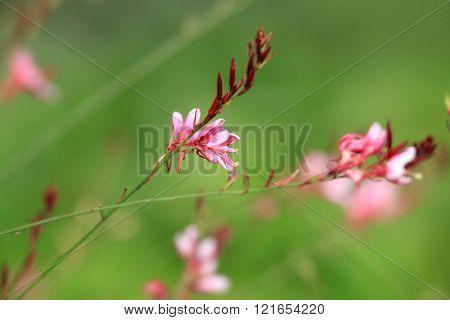 Pink Cardinal Flower also known as  Lobelia cardinalis