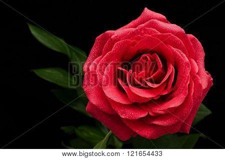 Big Red Rose On A Black Background