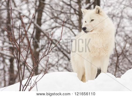 Profile of an Arctic Wolf