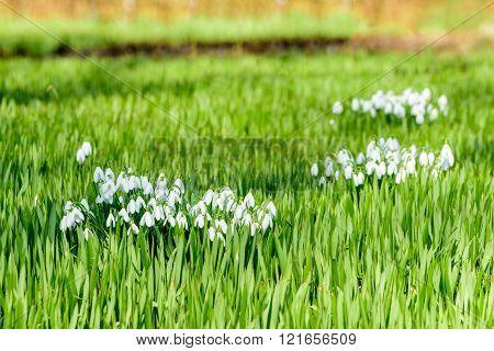 Galanthus Nivalis Or Snowdrop