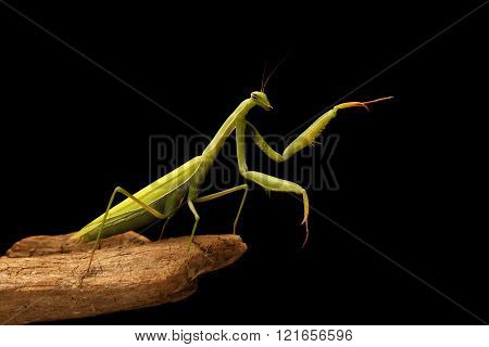 Closeup Mantis On The Branch On Black Background