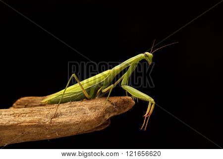 Green Mantis On The Branch On Black Background