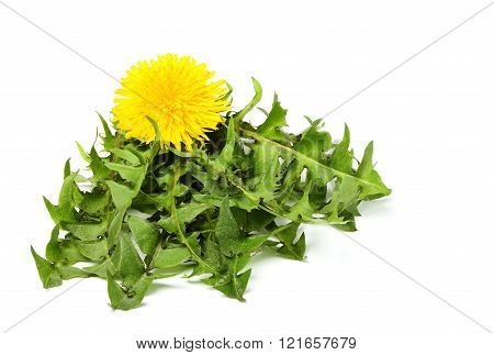 Dandelion Leaves Together With The Flower.