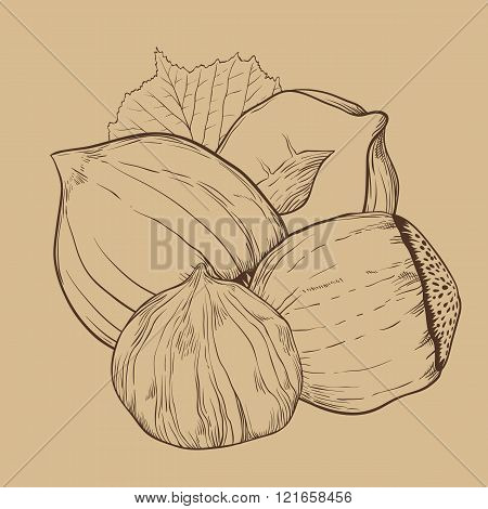 Hazelnut vector isolated on vintage background