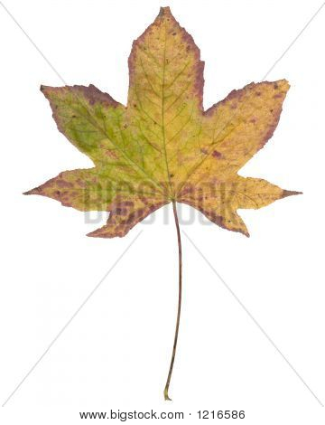 Large Sweet Gum Leaf