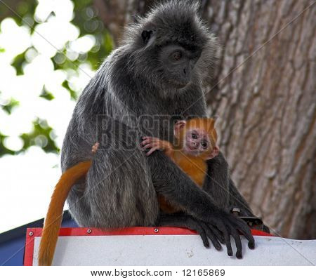 silver-leaf monkey and baby