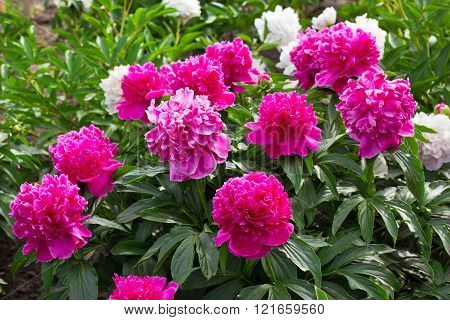 A Lot Of Pink Peonies In The Garden