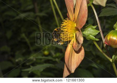 Bumblebee On Flower