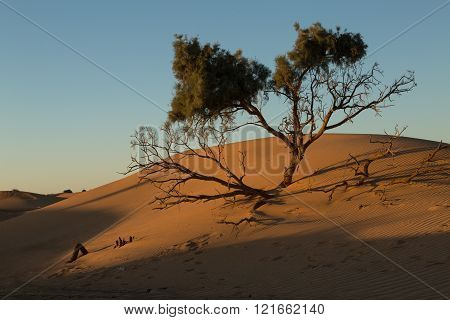 tree and its shadows in the sand dunes of the desert in Merzouga, Morocco