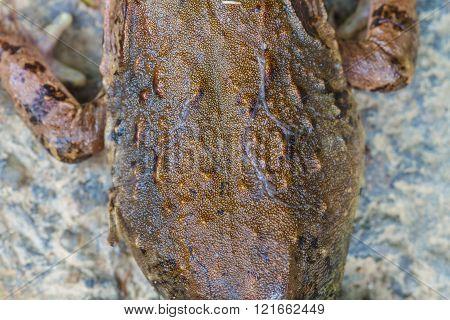 Closeup Skin Of Asian River Frog