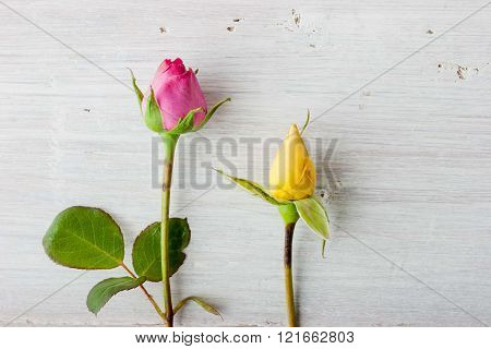 Colorful rosebuds on the white background horizontal