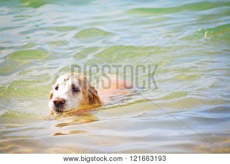Golden Retriver dog swimming in the Caribbean Sea