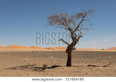tree and its shadow in the desert of Merzouga, Morocco