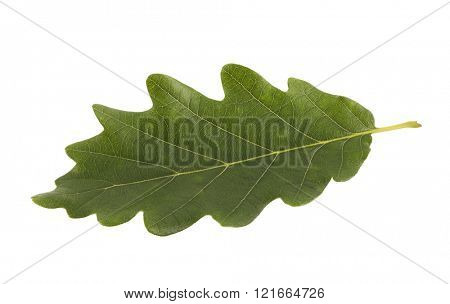 Green oak leaf isolated on white with clipping path