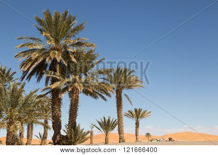 palm trees on the edge of the sand dunes in the desert of Merzouga, Morocco