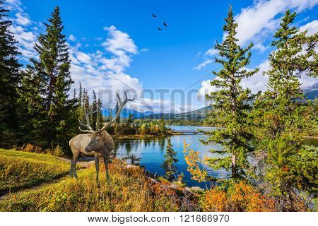 Early morning on the cold lake, Jasper national park. On the bank of lake there is magnificent deer with branchy horns