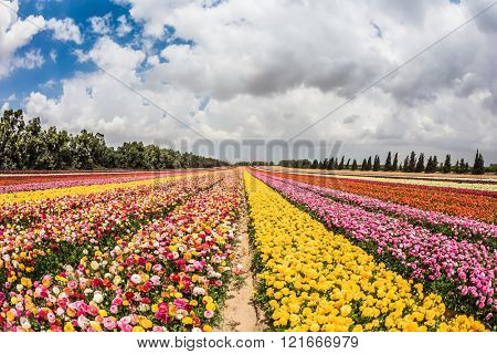 Flower kibbutz on the border with Gaza. Spring flowering buttercups. The magnificent flower carpet of colorful  buttercups