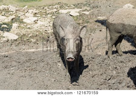 Happy hour of baby wild boar on the mud floor.