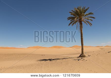 palm tree in the sand dunes of Merzouga, Morocco