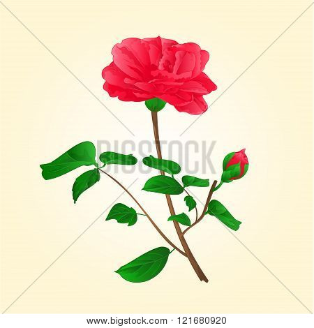 Flower Camellia Japonica With Bud Vector Illustration