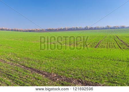 Fields with winter crops in central Ukraine
