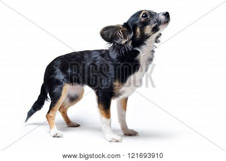 photo of toy terrier dog standing and looking up isolated on white background