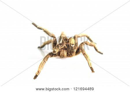 Tarantula Isolated On White Background