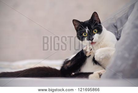 Amusing Black-and-white Cat