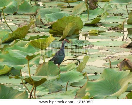 A Colourful Bird On A Lotus Leave