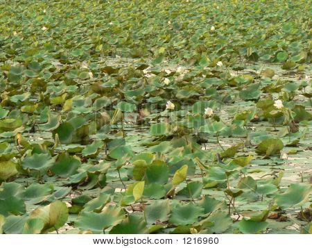 A Pond Of Lotus