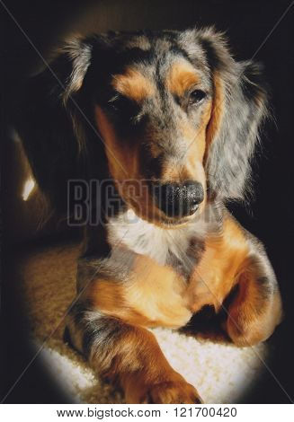 Black and Tan Dachshund