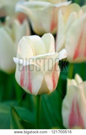 Tulips (tulipa Greigii)