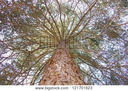 bottom view up the long trunk of a pine at the top of many sprawling branches