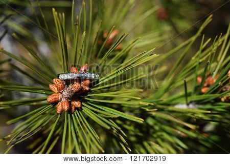 Spring proposal ring with diamonds, proposal ring on the flowering pine